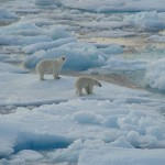 Polar bears on pac ice